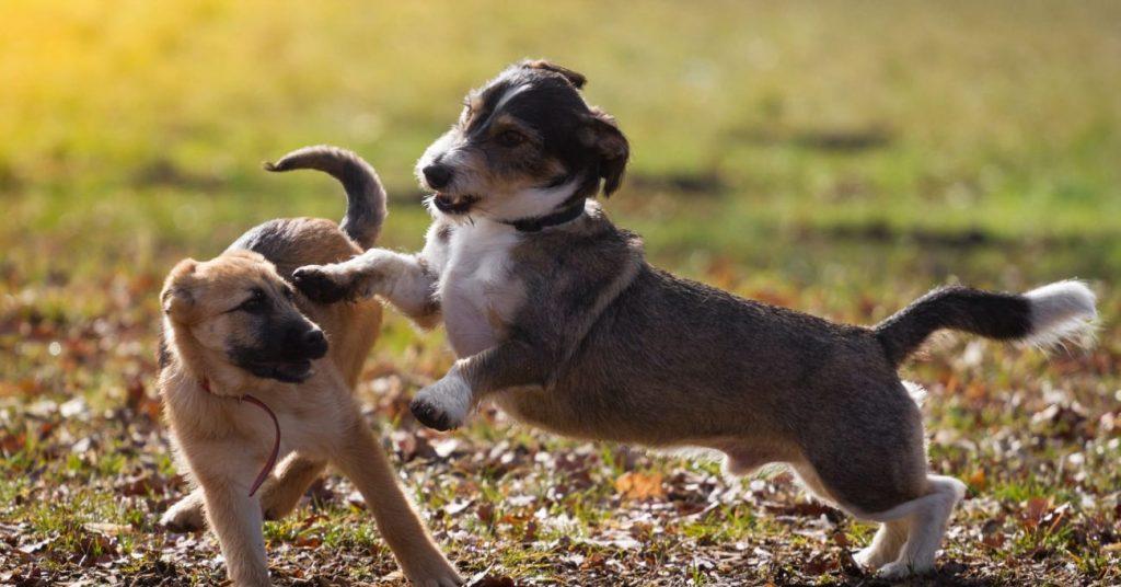 Bon jeu entre chiens